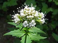 Valerian Plant